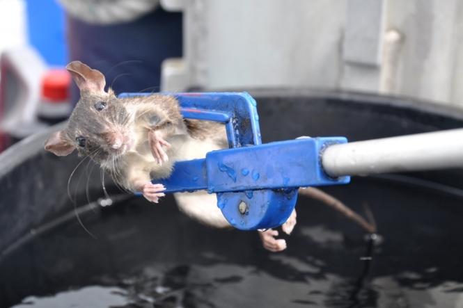 Så här såg den ut, vår före detta skeppsråtta. Ganska söt, för att vara råtta.