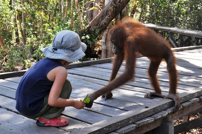 Otto bekantar sig med orangutangpojken Charles. Idag står hans hem i lågor.
