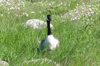 Nidingens fågelstation ä bemannad från mars till november.