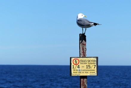 Stora delar av Nidingen är fågelskyddsområdet under april till juli